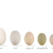 Pourquoi les oeufs d'oiseaux ont-ils des formes aussi différentes ? - SciencePost